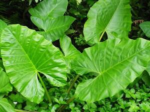 Taro leaves