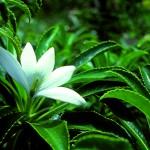 TIARE-APETAHI-polynesie.com