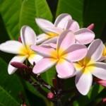 frangipanier-paofai-tahiti.blogs.midilibre.com
